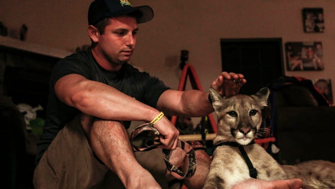 Nala, a juvenile Florida panther from Wild Florida, rests leashed alongside Andrew Biddle inside his home on Nov. 8, 2017.