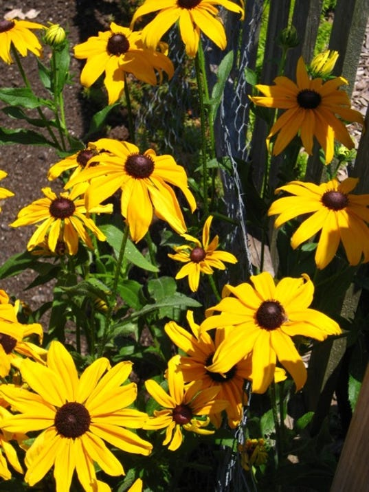 Black-eyed Susans are a popular entry every year at the South Mountain Fair.
