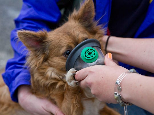 Augustus, a long hair Chihuahua, has an oxygen mask applied to his muzzle. Brick's Pioneer Hose Fire Company No.1 received dog oxygen masks from Canine Company who donated the masks and gave a demonstration on how to use them.