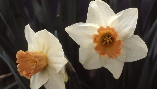 This large cup daffodil is named Accent. It has a salmon pink cup and white petals. Groups of daffodils in spring bloom offer great color impact.