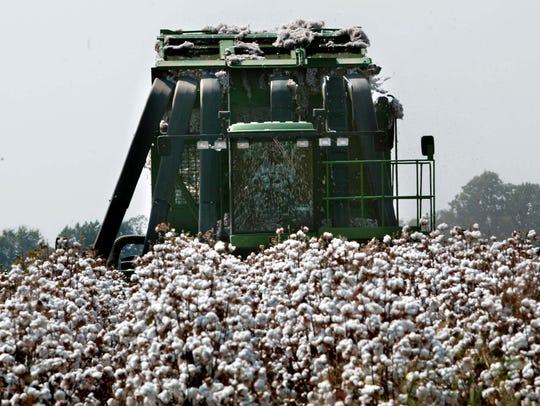 A previous crop of a mature cotton crop in Madison