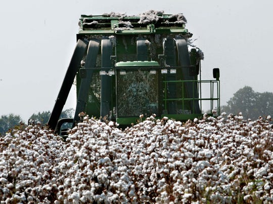 A previous crop of a mature cotton crop in Madison Parish is pictured.