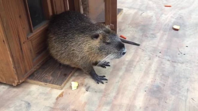 It'll be a longer spring in Acadiana, according to Pierre C. Shaddeaux the nutria.