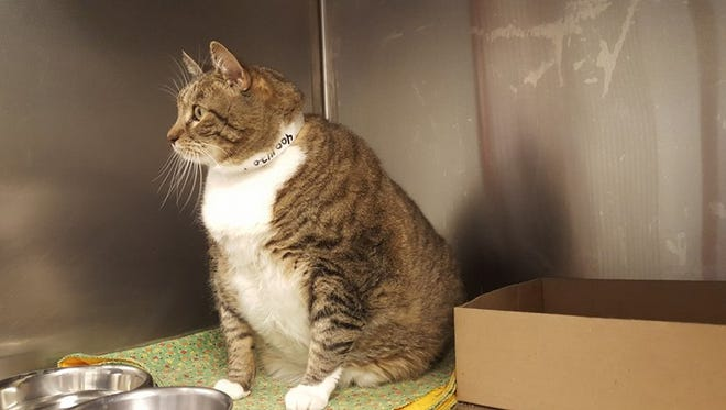 Jack is a 2-year-old domestic shorthair that's up for adoption in Maricopa County. He weighs 30 pounds and needs to lose weight for health reasons.