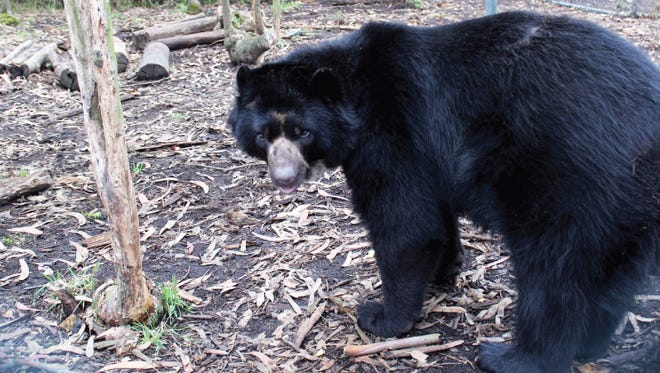 Pinocchio the Andean bear is scheduled to arrive at the Salisbury Zoo on Saturday, Nov. 10.