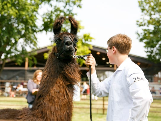 Coco, a llama owned by Tyler Blank of Clackamas, at