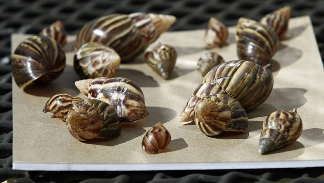 This Sept. 30, 2011 file photo shows a collection of giant African land snails in Miami. The Giant African Snail eats buildings, destroys crops and can cause meningitis in humans. But some people still want to collect, and even eat, the slimy invaders. Since June, USDA has seized more than 1,200 of the large snails, also known as Giant African Land Snails, all of them traced back to one person in Georgia who was illegally selling them.