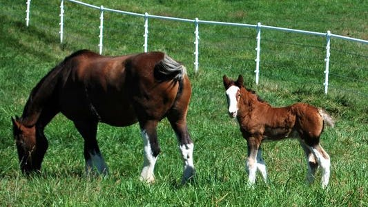 Warm Springs Ranch in Boonville, Missouri serves as the Budweiser Clydesdale breeding establishment.