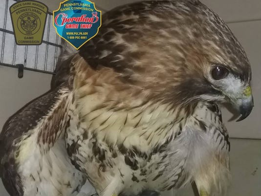 red-tailed-hawk-recover.jpg