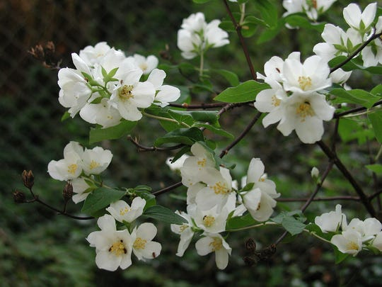Philadelphus lewisii, also known as Lewis's mock-orange, is a hardy shrub that is native to western North America. It is a good choice for a water-efficient landscape design.