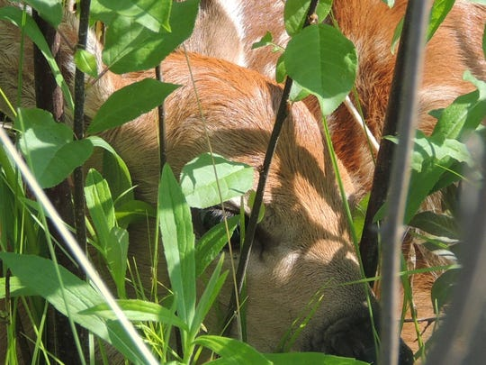 Whitetail fawns begin to feed and explore with their mother and siblings, wandering through fields and forest edges in search of fresh grasses and shoots.