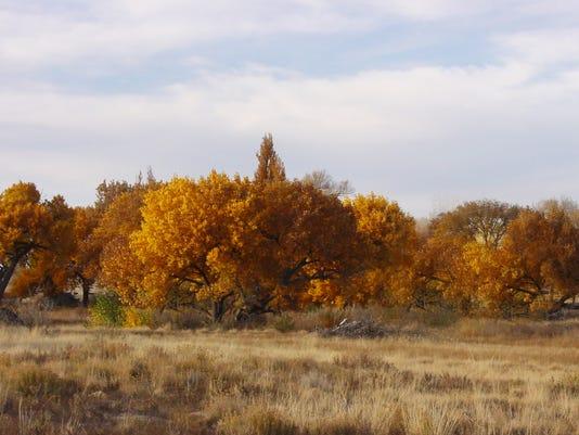 Cottonwood treeline