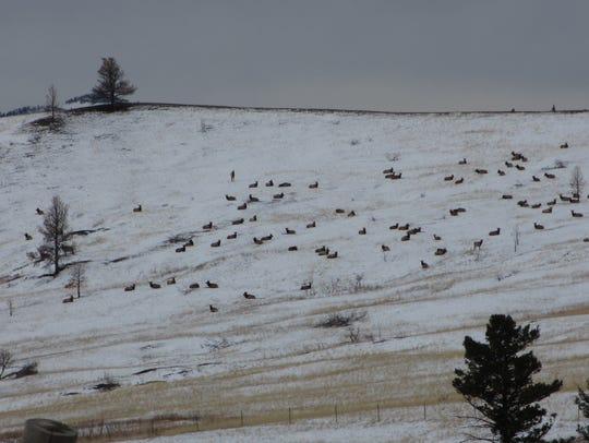 Elk lie on a hillside in the Beartooth Wildlife Management