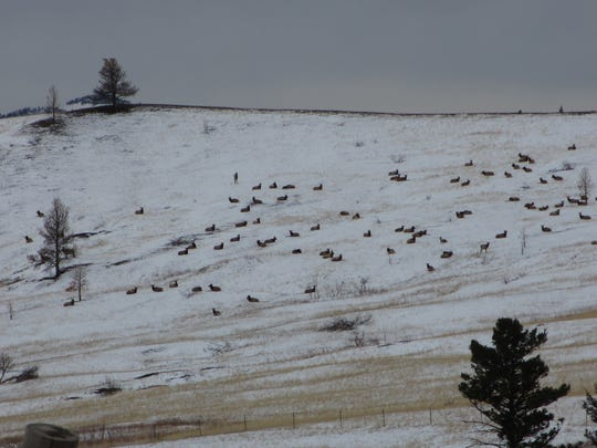 Elk lie on a hillside in the Beartooth Wildlife Management Area south of Cascade.