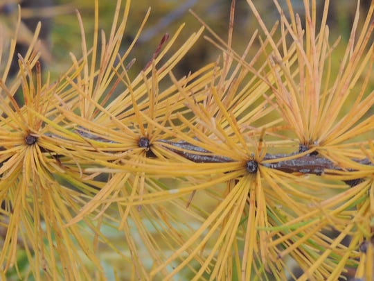 Tamaracks are conifers that shed their needles each