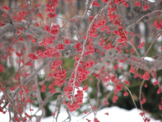 The fruits of crabapple trees retain color throughout winter.