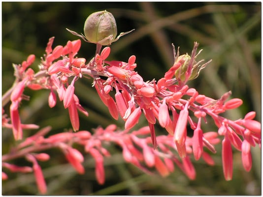 UTILITIES CONNECT 1-Red Yucca-Blossom.jpg