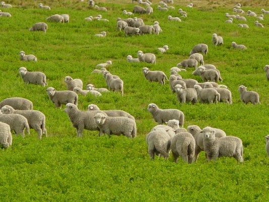 Corriedale-lambs-in-Tierra-del-Fuego.JPG