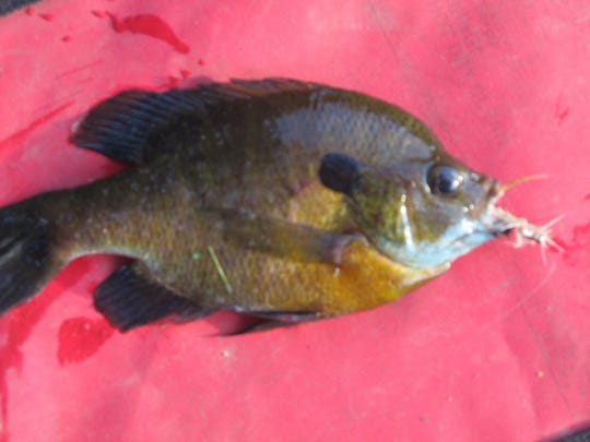 An eight inch bluegill is common in southwest Missouri