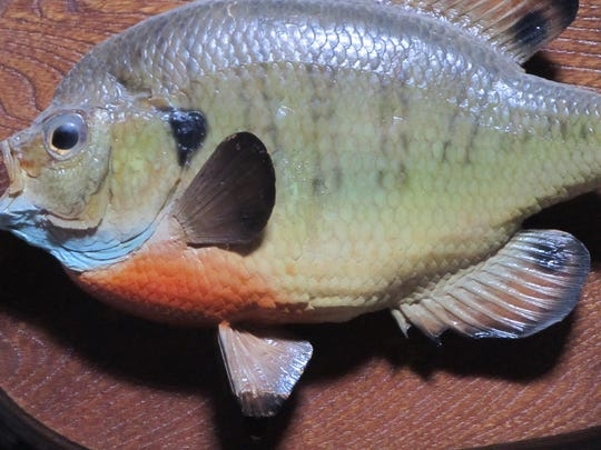 This one pound bluegill is one for the wall. It was