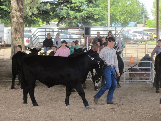 Taking cattle out for a spin during a livestock competition