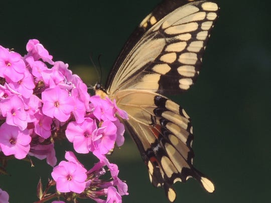 One of the most beautiful butterflies found in Wisconsin,
