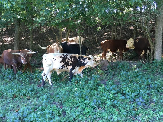 Part of Charley Jordan's Woodlawn-area cattle herd.