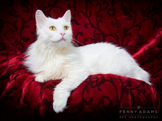 Dutchess, a long term shelter cat at Williamson County Animal Center cat. Portrait by Penny Adams, who volunteers taking portraits of shelter animals ay at Williamson County Animal Center in hopes that the portrait will encourage a loving home for the animal.