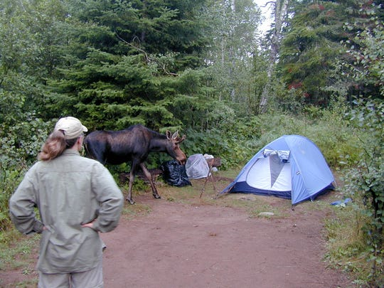 Leah Vucetich, an assistant research professor, helps collect scat, urine and other samples from Isle Royale wolves and moose.