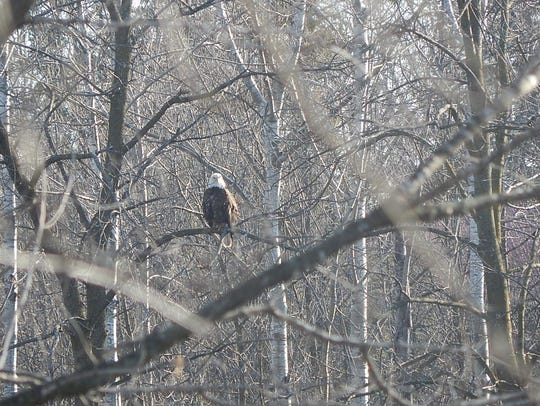 A bald eagle overlooks the East Twin River in Mishicot