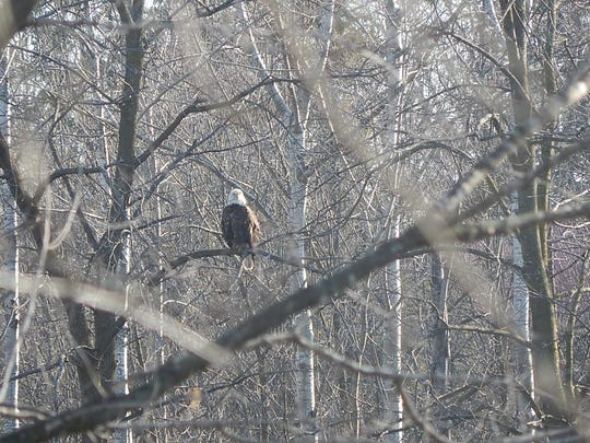 A bald eagle overlooks the East Twin River in Mishicot this past Easter weekend.