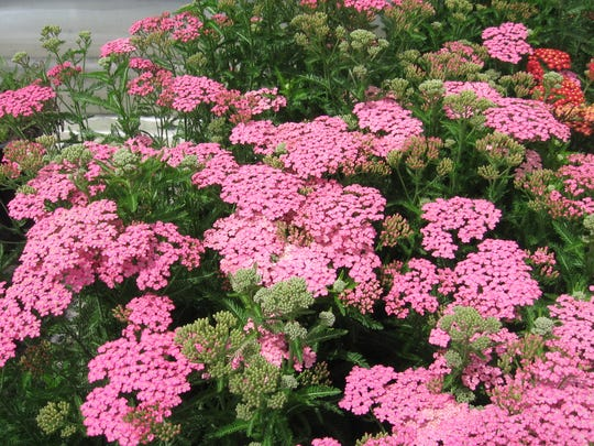 Achillea mil. 'Little Susie' - This compact selection features clusters of rose-pink flowers, ageing to soft lilac. The ferny grey-green foliage forms a low mound.  Maturing to 18 to 24 inches wide and 12 to 18 inches tall, the variety can spread, so reduce clump size every couple of years in spring or fall.