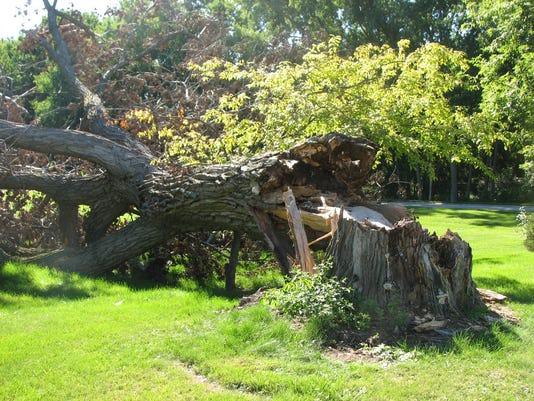 636332159983401799-06-18-2017-Poplar-tree-decay-1-3.JPG
