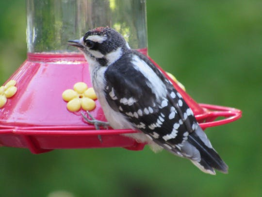 This downy has been dining at a Midland Park feeder