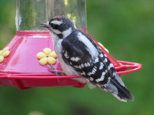 This downy has been dining at a Midland Park feeder this summer.