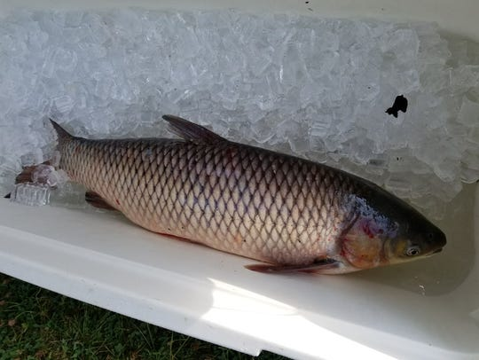 A grass carp caught in the Sandusky River. These invasive