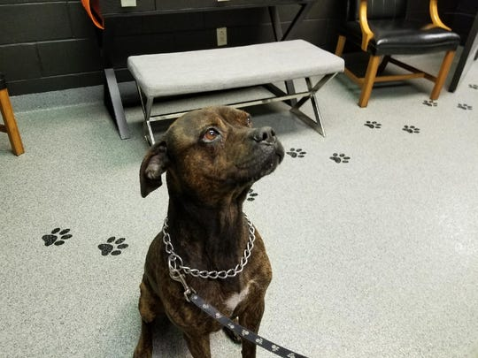 Chaos, a boxer mix, sits for a treat in the play room of the Sandusky County Dog Warden's Office.