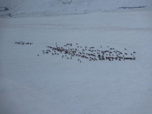 636511912758749070-elk-herd-in-winter.JPG