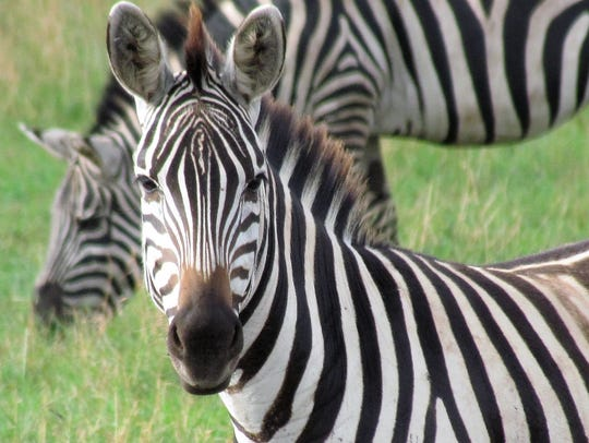 These zebras live in Tanzania, which could be an optional