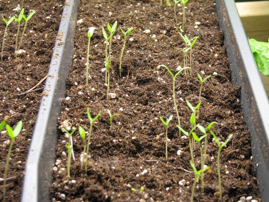 636592175678689173-Egg-plant-seedlings-1-.jpg