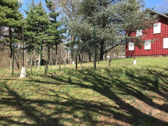 The vineyard was planted at the Tunis R. Cooper property at Cooper's Pond in June 2017. It will take another four to five years to fully mature.