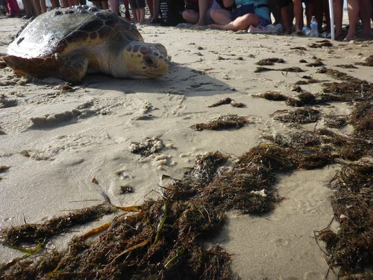 An FSU study shows that microplastic pollution is a threat to sea turtles.