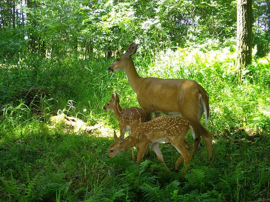 A white-tailed deer and fawns were captured by a Snapshot Wisconsin trail camera in Waupaca County.