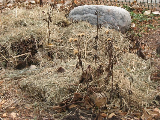 635515721979540009-11-17-2014-Perennial-beds-mulched-with-marsh-hay