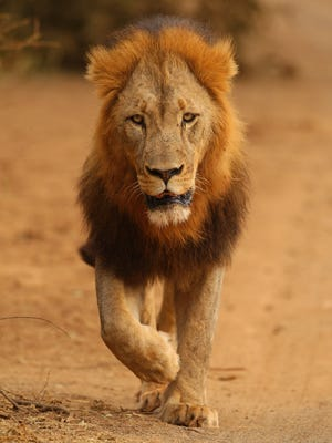A lion walks through the Pafuri game reserve on July 22, 2010 in Kruger National Park, South Africa.