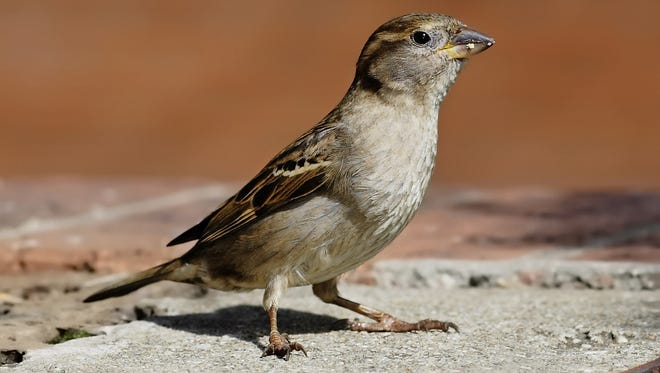 A small bird with pale belly and breast and patterned wing and head stands on concrete.