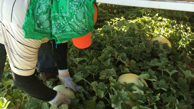An employee works at a melon farm in Aguila.