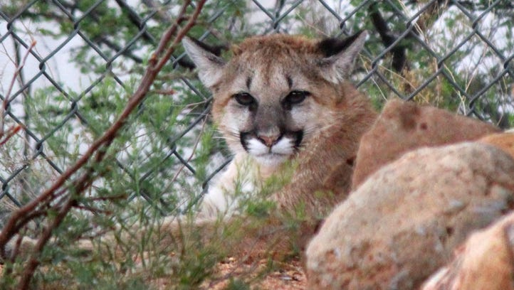 A mountain lion cub found severely emaciated and dehydrated