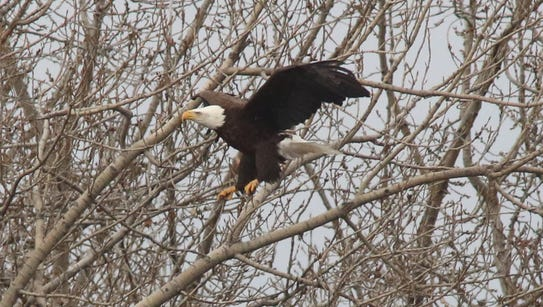 One of two adult bald eagles near a nest that looks
