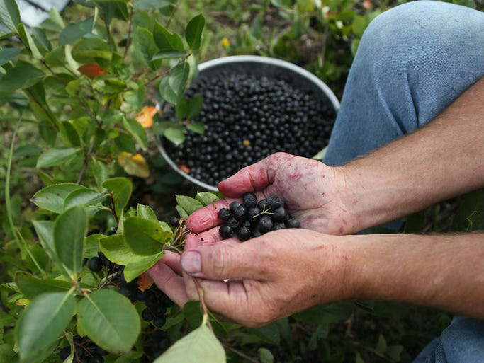 Aronia berry farmer Bob Pertzborn started growing the antioxidant when his wife Kathy began talking about the health benefits of the perennial plant. Wednesday, Aug. 27, 2014.